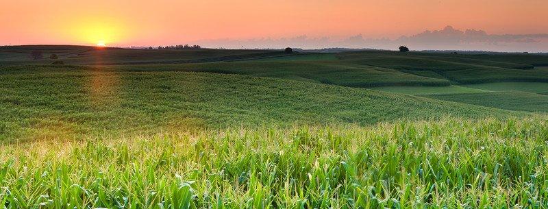 Corn fields at sunrise.