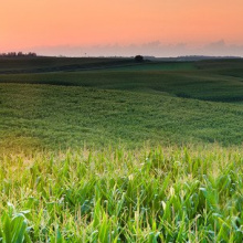 Corn fields at sunrise.